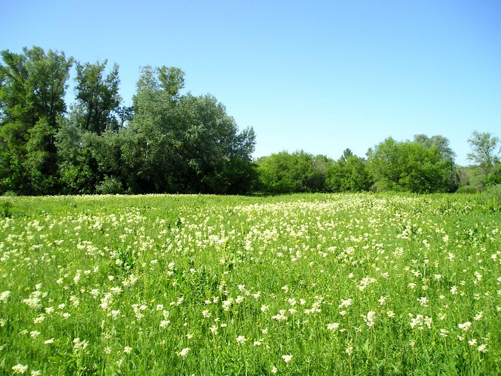 поле ландышей